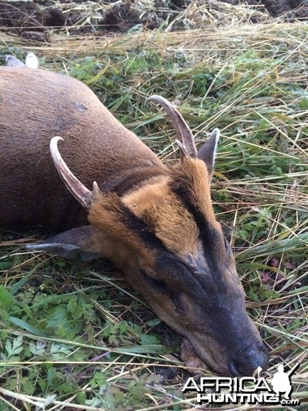 CIC Gold medal muntjac buck