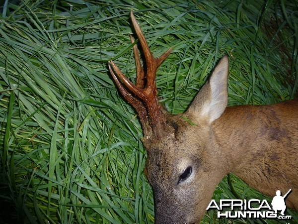 Representative English roe buck