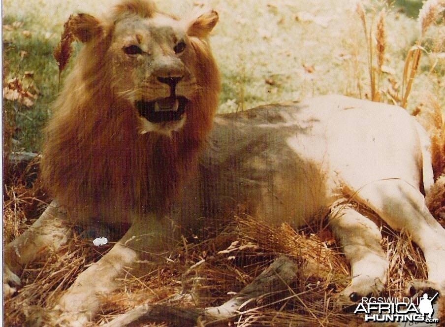 African Lion Taxidermy
