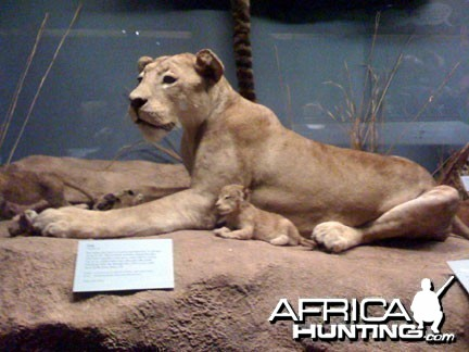 Taxidermy Lioness