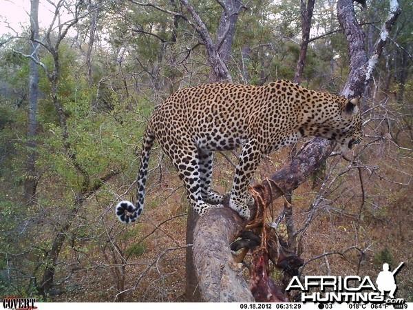 Leopard on bait Tanzania