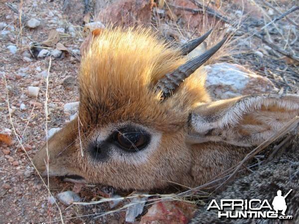 Damara Dik-Dik hunted at Westfalen Hunting Safaris Namibia