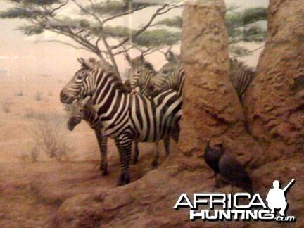 Taxidermy Mountain Zebra