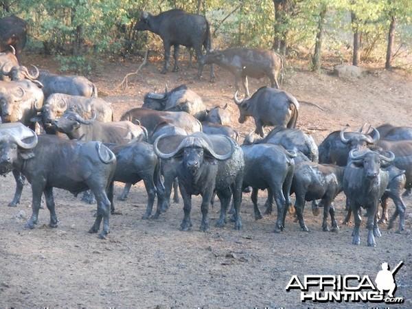 Quality breeder Bull