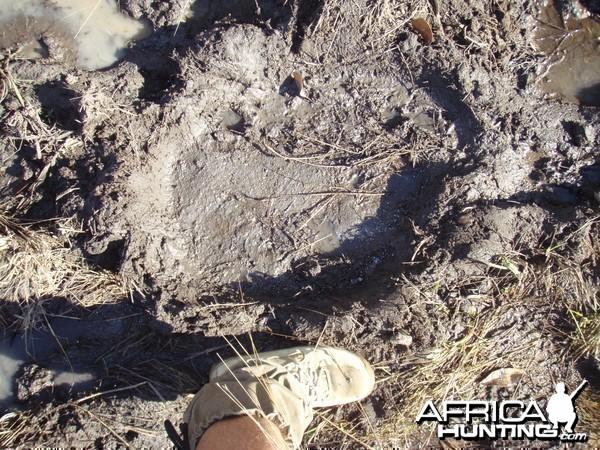 Large elephant footprint.