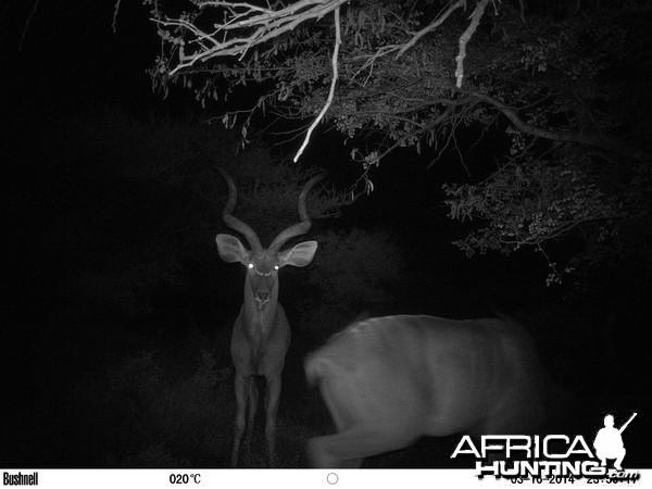 2 kudu bulls