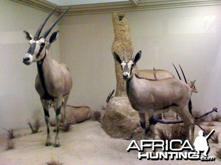 Taxidermy Gemsbok / Oryx