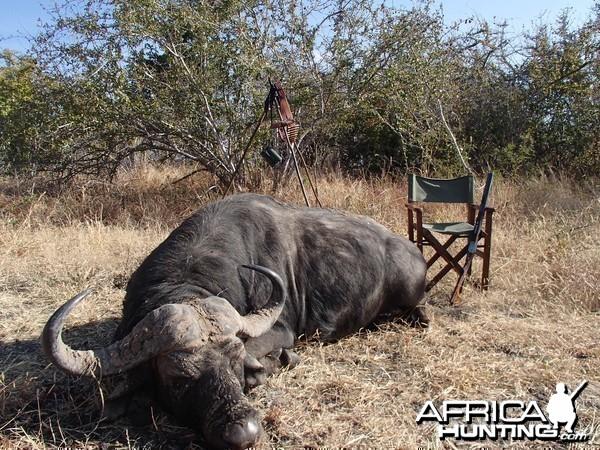 Buffalo - Bullet Safaris