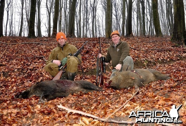 Driven boar hunt hungary January 2015