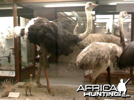 Taxidermy Ostrich