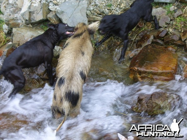 Pig Hunting with Dogs in New Zealand