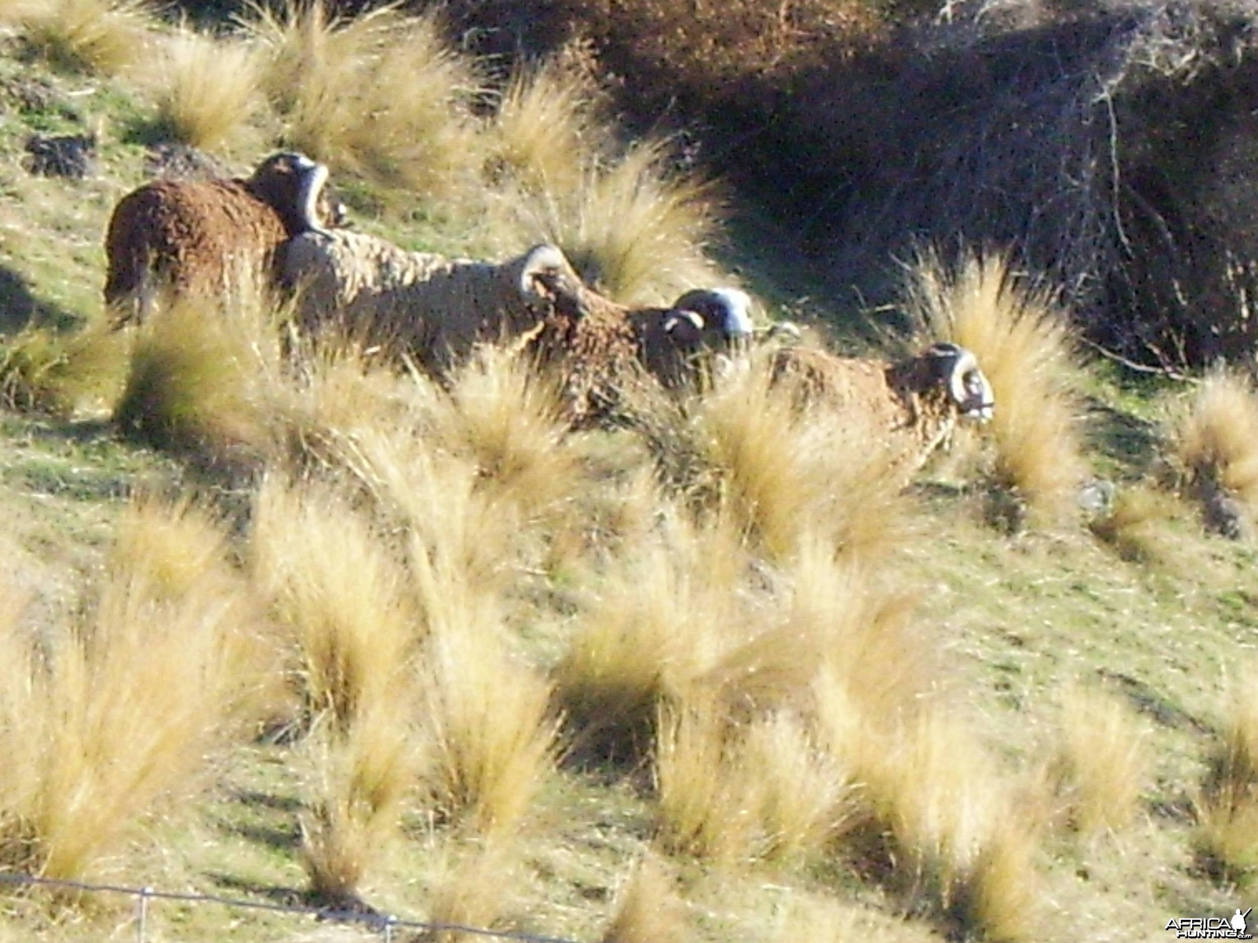 Awapawa rams New Zealand