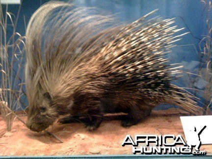 Taxidermy Porcupine