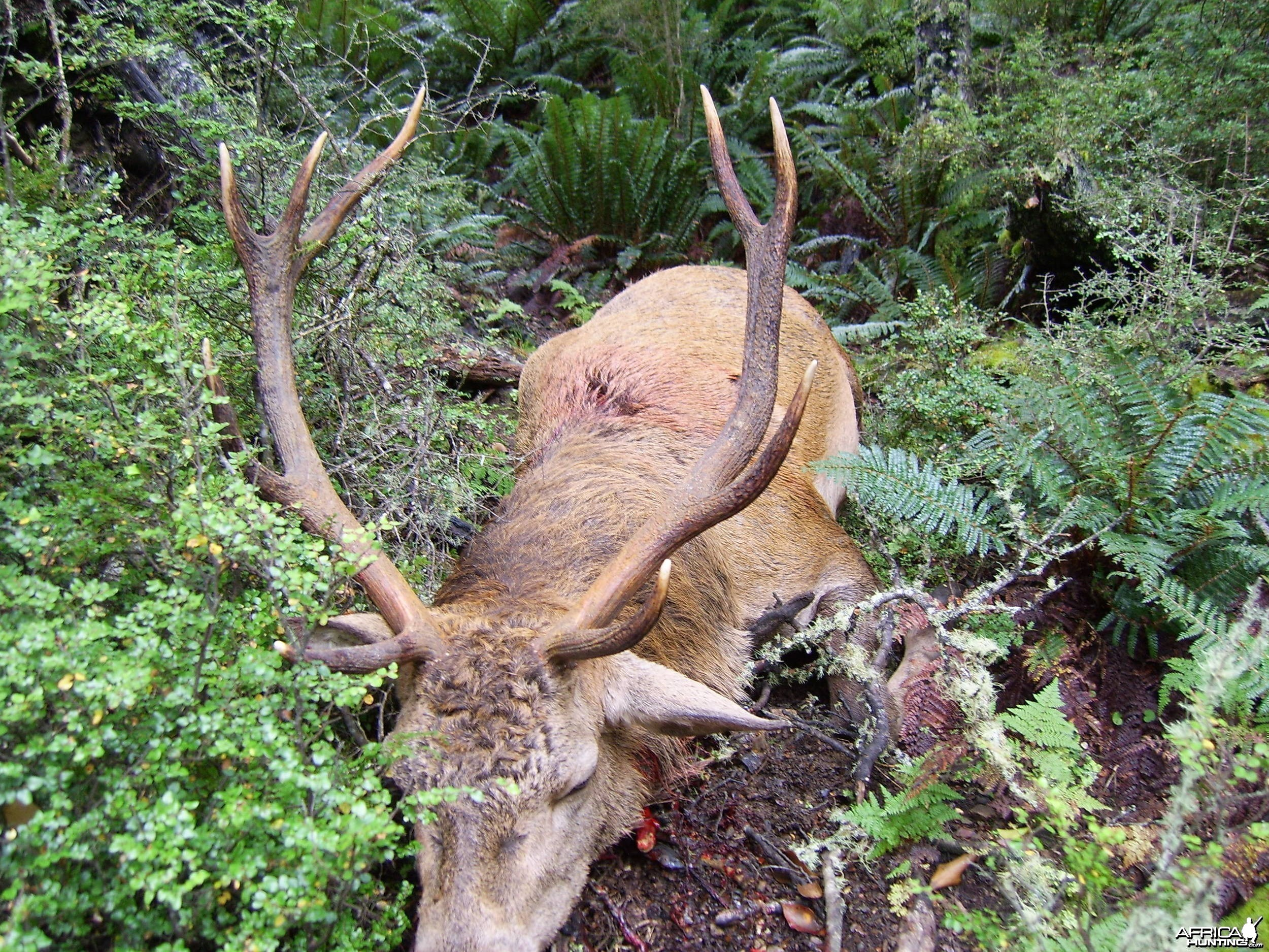 Hunting Red Stag New Zealand