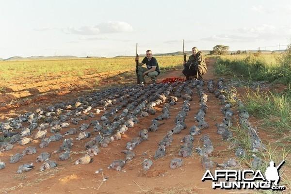Dove & Pigeon Shooting