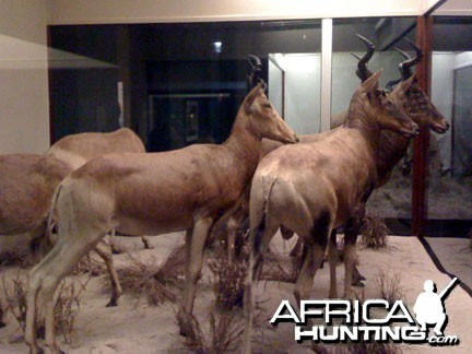 Taxidermy Red Hartebeest