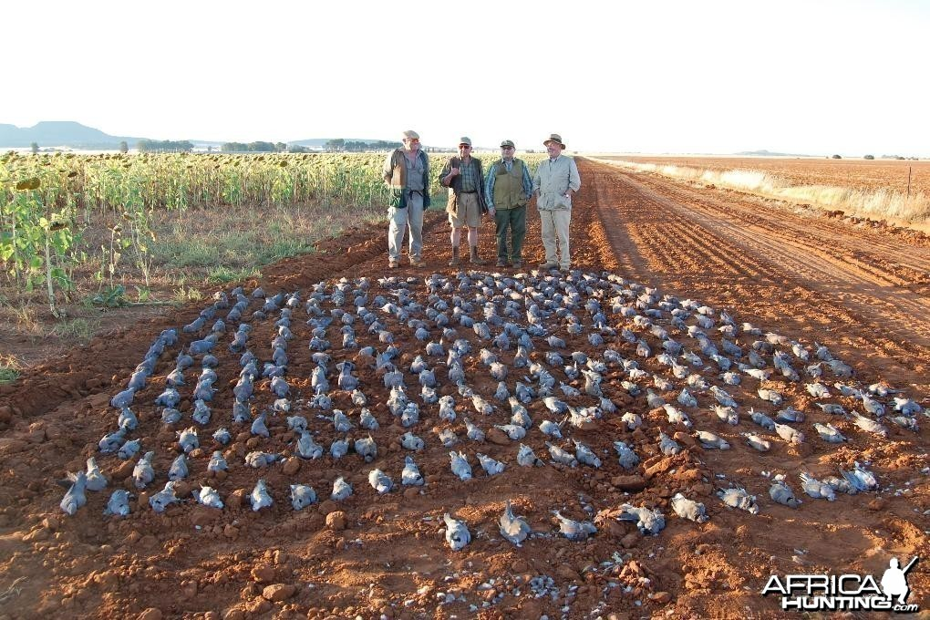 Dove & Pigeon Shooting