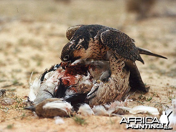 Falcon on Bustard