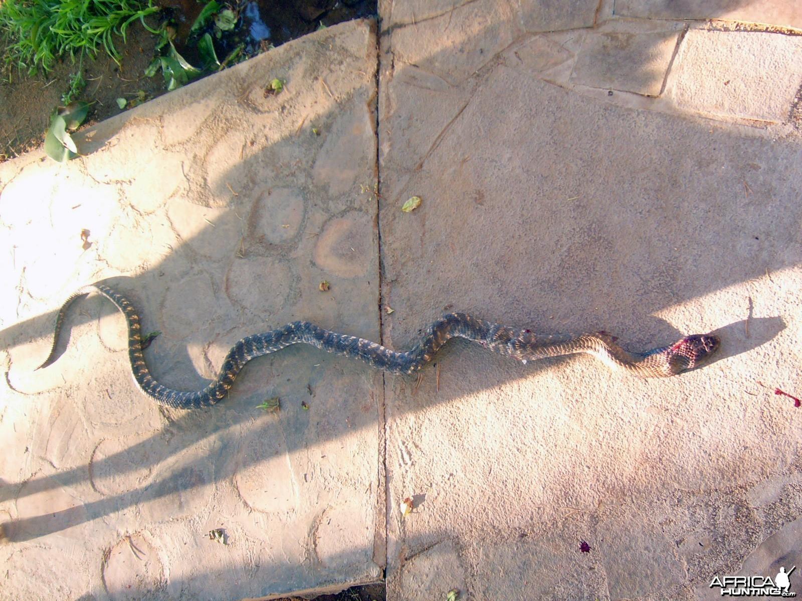 Zebra Snake in Namibia