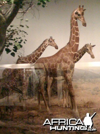 Taxidermy Reticulated Giraffe