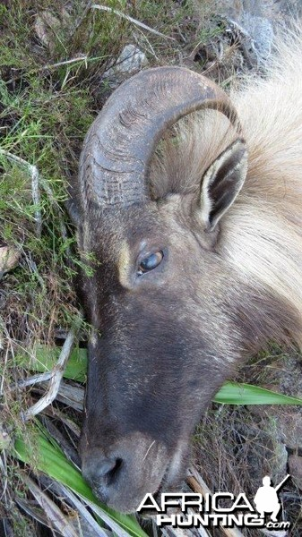 13 1/4 South African Tahr