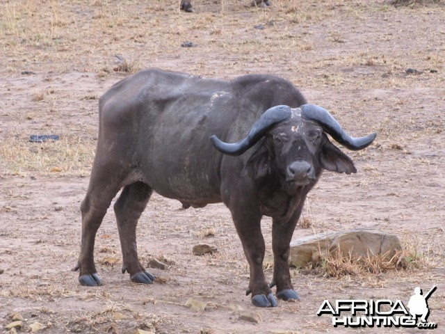 Hunting Tanzania... Old Buffalo Warrior in Kilombero