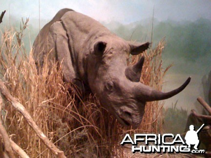 Taxidermy Black Rhino