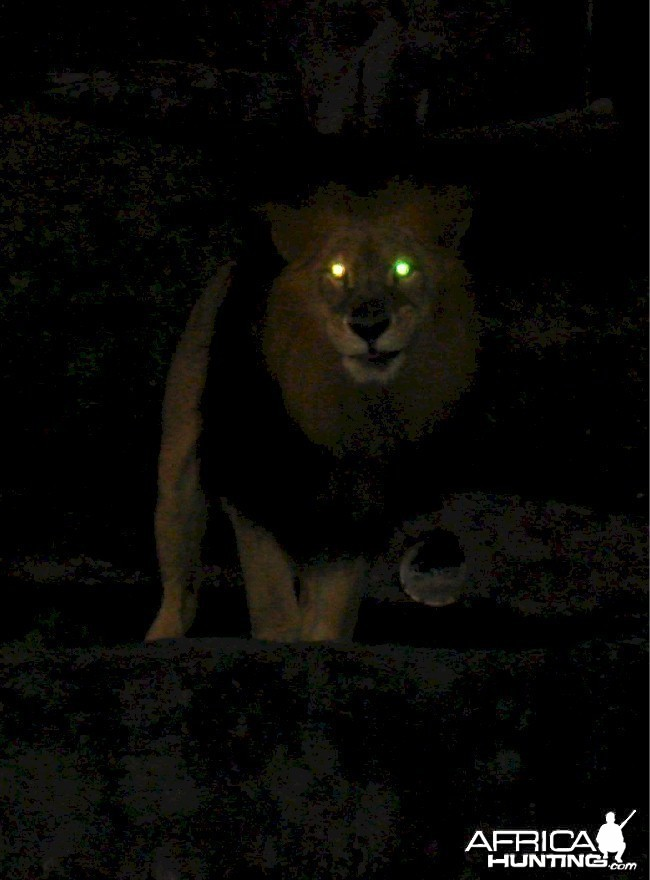 Lion Glow Eyes