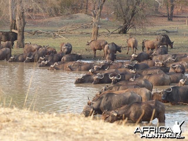 Buffalo herd taking a drink on a dry winter morning