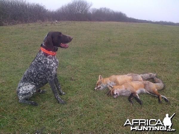 Hunting Fox in Romania