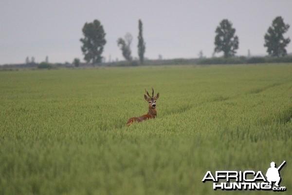 Hunting Roe Deer in Romania