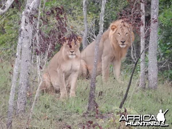 Big Mozambique Cats