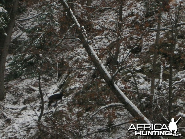 Chamois Hunt in Romania