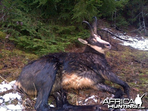 Chamois Hunt in Romania
