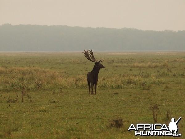 Fallow Deer Romania
