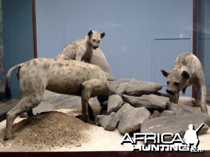 Taxidermy Spotted Hyena