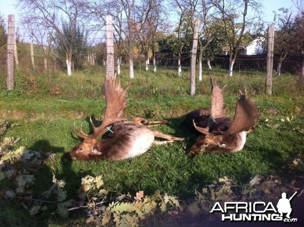 Fallow Deer Hunt in Romania