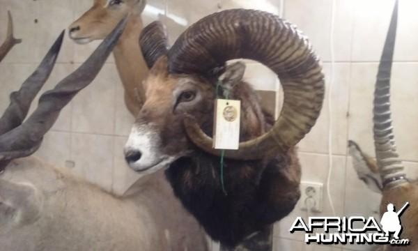 Mouflon czech republic