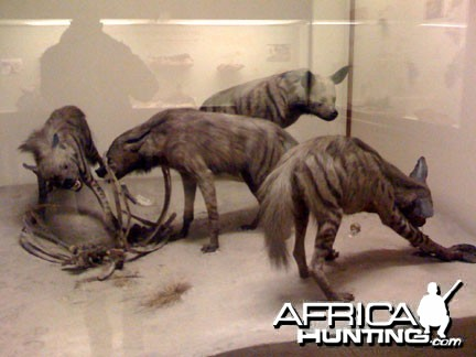 Taxidermy Stripped Hyena
