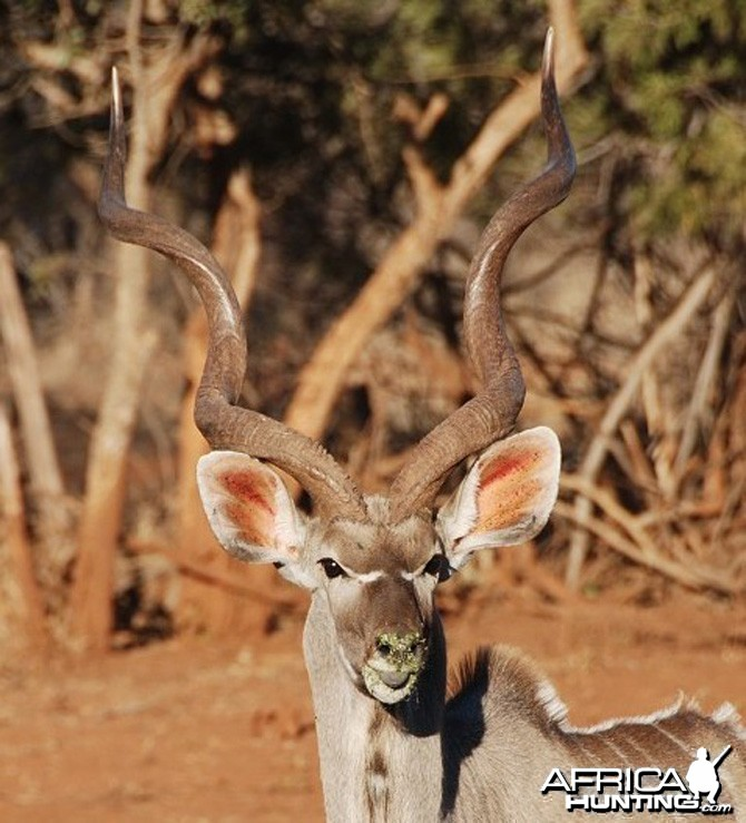 Greater Kudu South Africa