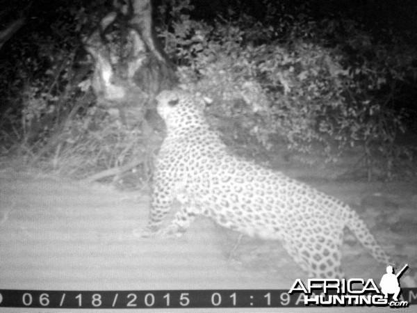 Hunting Leopard Westfalen Hunting Safaris in Namibia