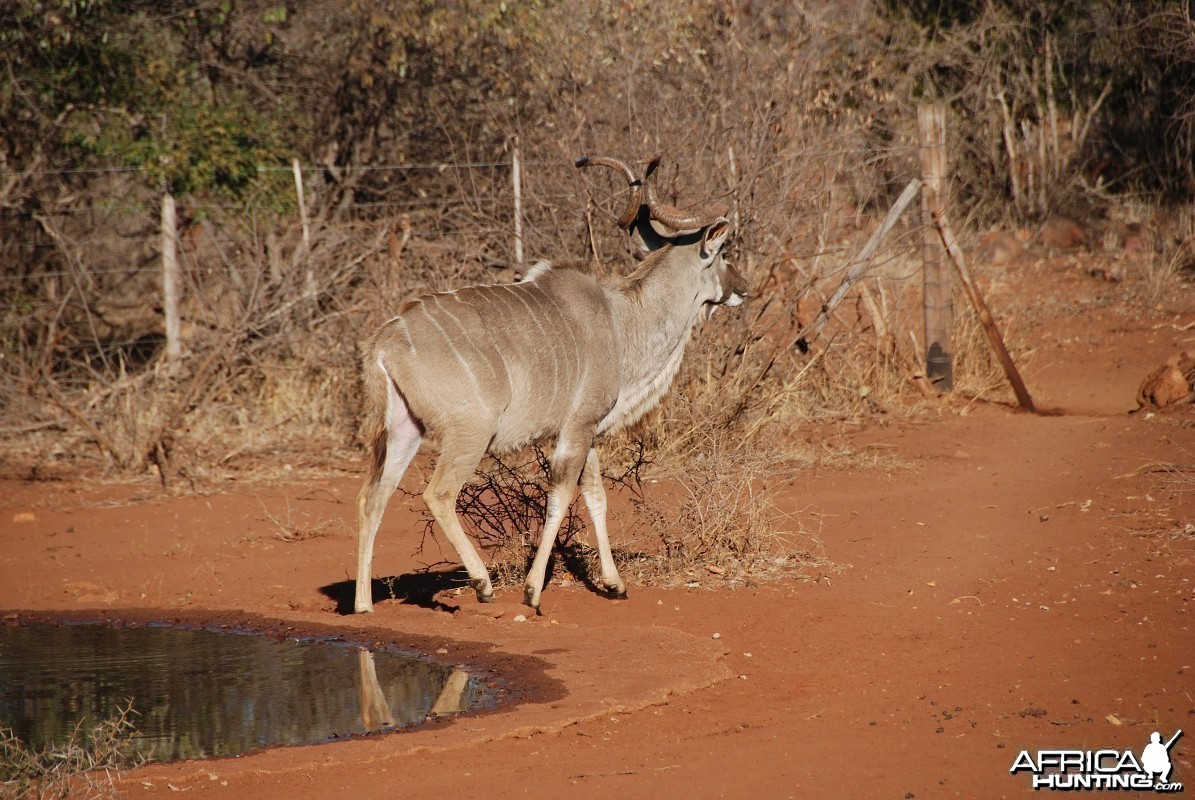 Greater Kudu in South Africa