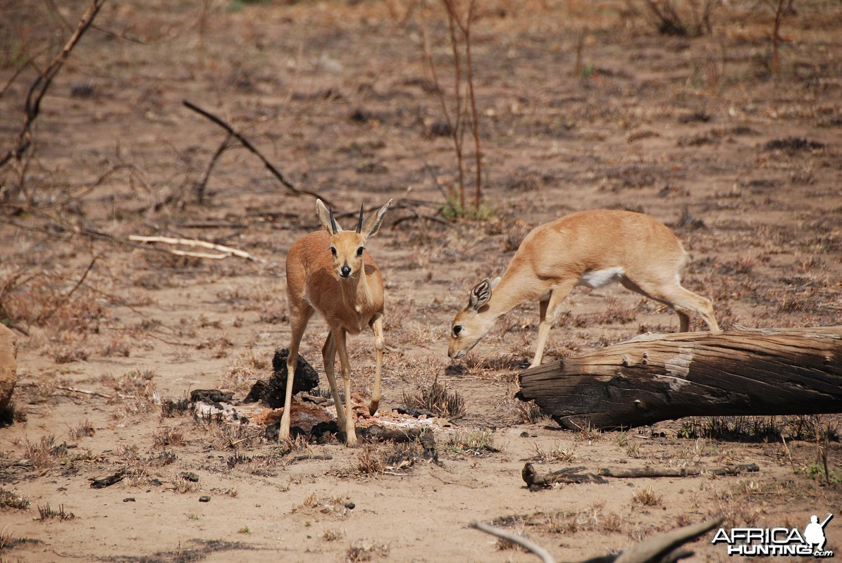 Steenbok couple in South Africa