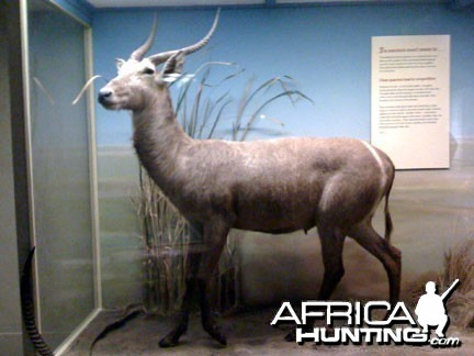 Taxidermy Waterbuck