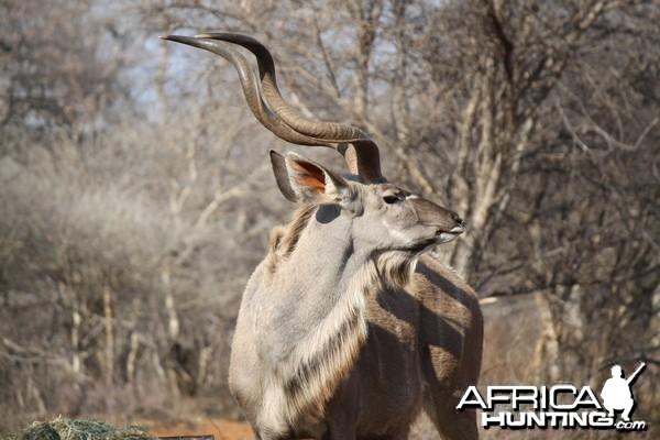 Kudu Bull At Limcroma Safaris