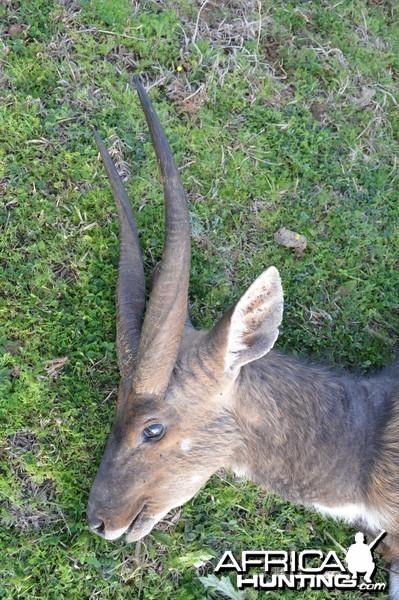 Big Cape Bushbuck