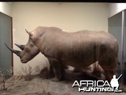 Taxidermy White Rhino