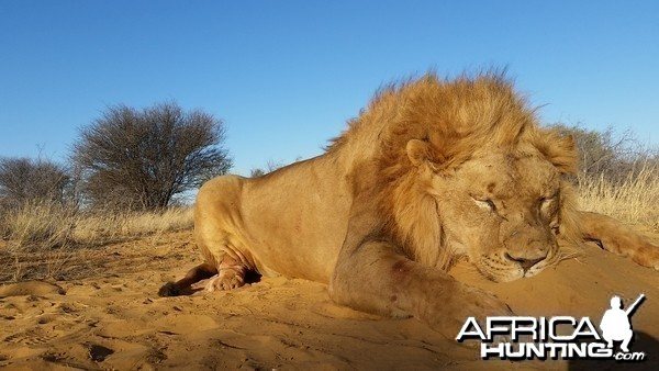Bowhunted Lion
