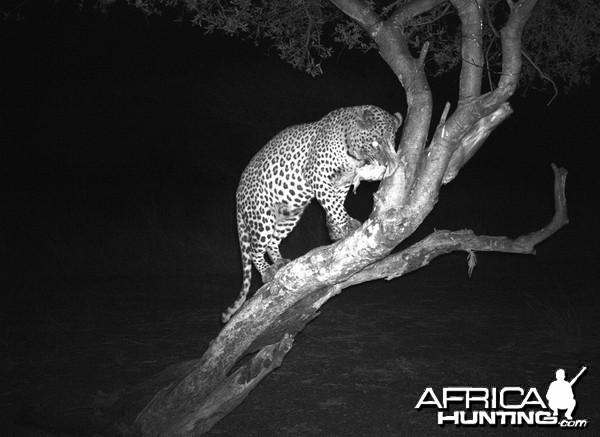 Leopard Hunt Namibia