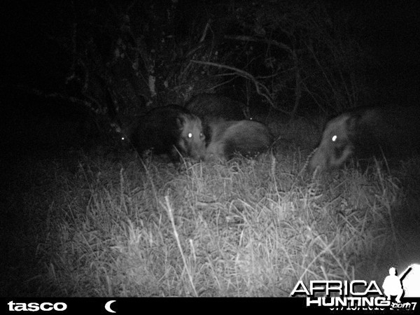 Baited bushpig in Mankazana Valley.